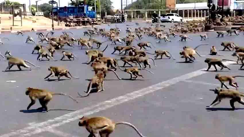 დამშეული მაიმუნები