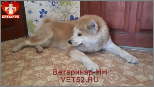 Ветеринарная клиника Ветеринар Нижний Новгород VET52RU (146)