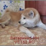 VETERINARNAY-KLINIKA-VETERINAR-NIZNII-NOVGOROD-VET52RU-146